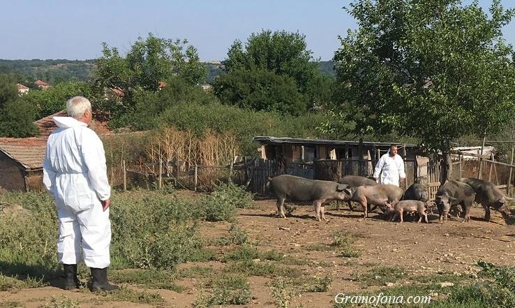 Откриха африканска чума в 5 села в Бургаско