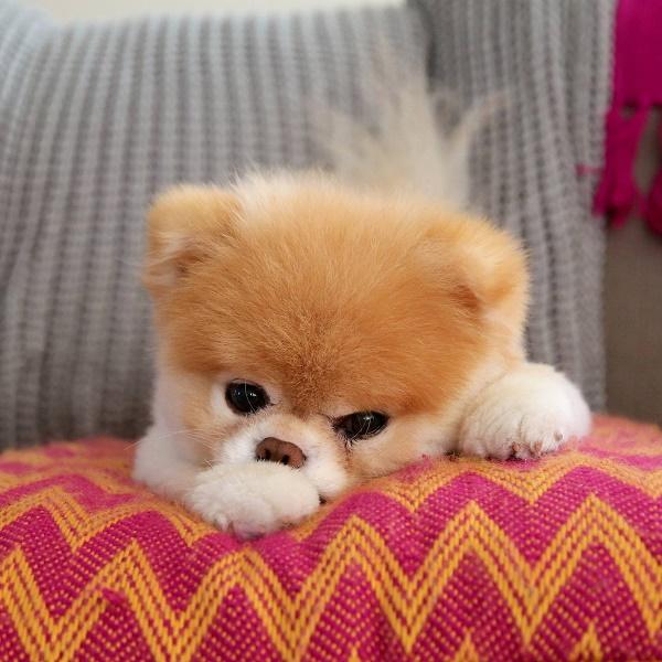 Най-сладкото кученце на света почина от разбито сърце