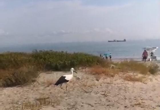 Пернати летовници забавляват плажуващите в Крайморие