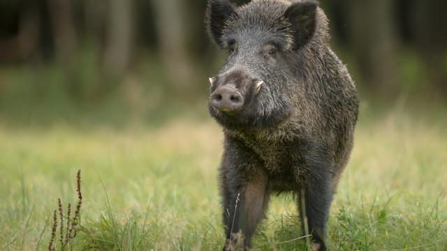 За втори път се удължава срокът за групов лов на дива свиня