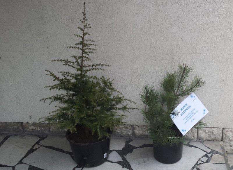 Купи жива елха, помогни на дете с тежко онкологично заболяване