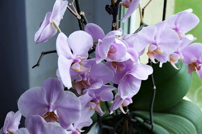 Откриха нов вид орхидея, която никога не цъфти