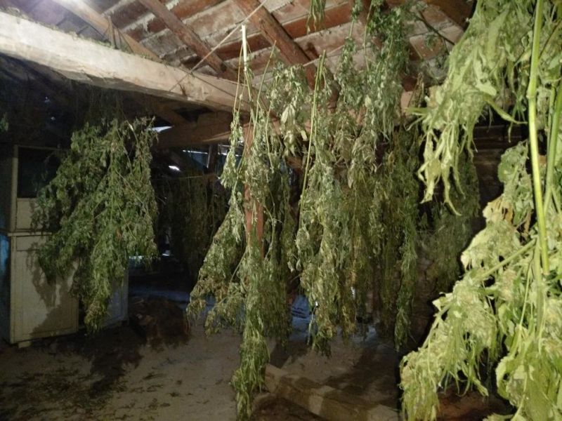 Инспектор от БАБХ си направил цяла плантация с марихуана
