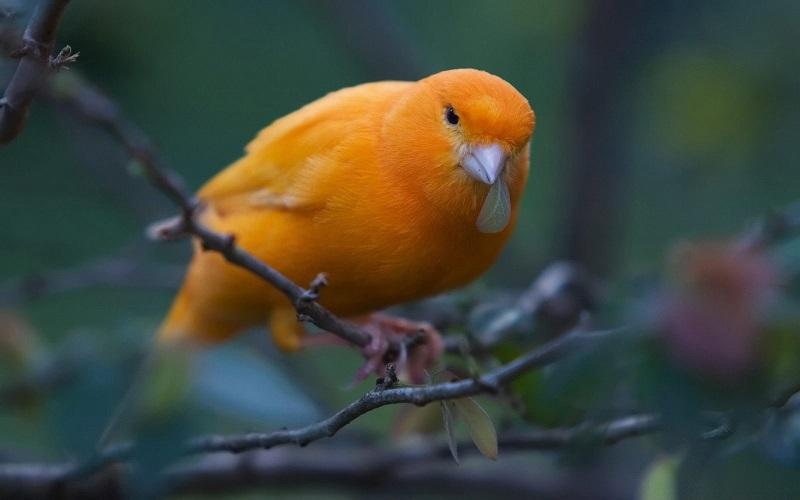 Стотици канарчета през ноември на Флората