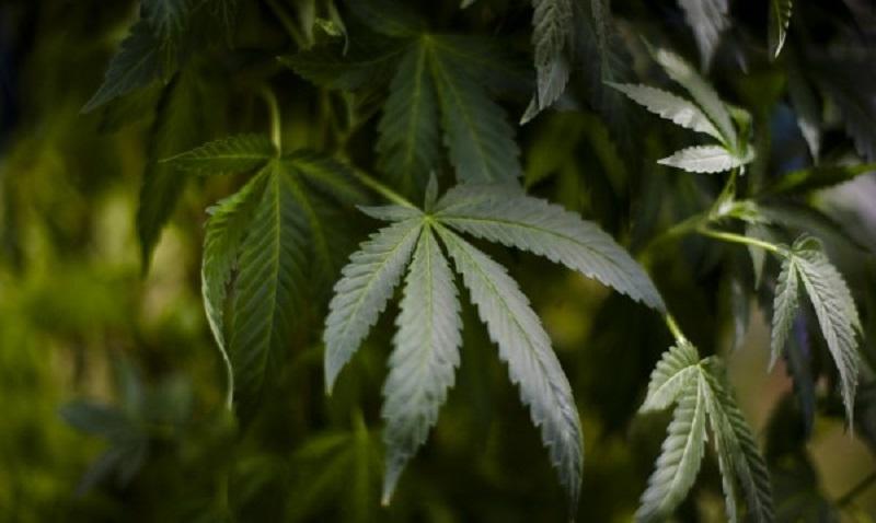 Македония легализира медицинската марихуана
