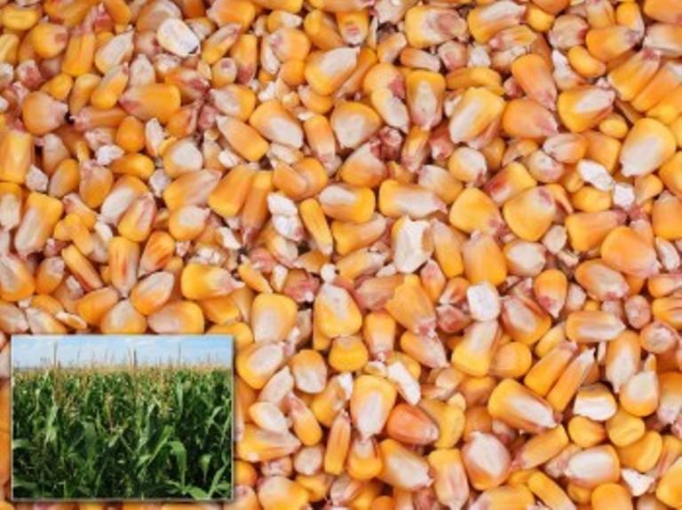 Търсят кой да достави 180 тона царевица на ДЛС Несебър