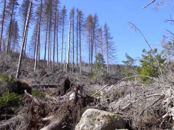 Корояди и гъби морят иглолистните дървета в Карнобат и Средец