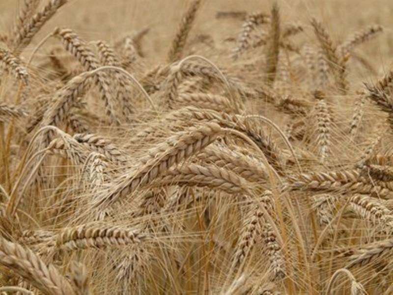 България с рекордна реколта пшеница