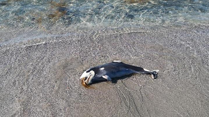 Морето изхвърли мъртво делфинче на плажа в Поморие