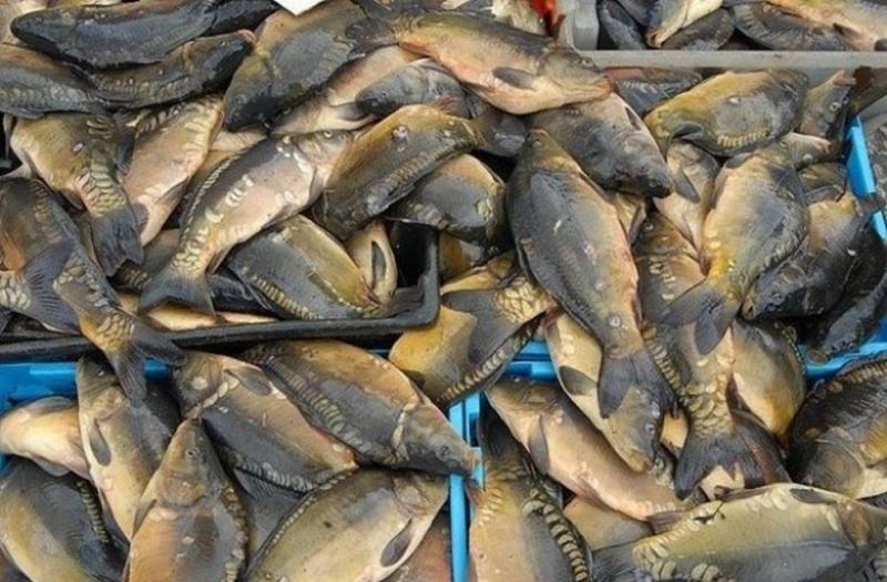 Откриха тонове мъртва риба в река Искър