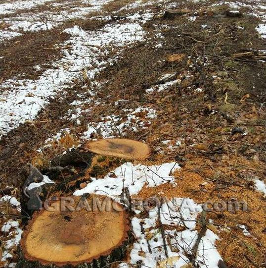 50-годишна горичка в Сунгурларско изсечена до голо