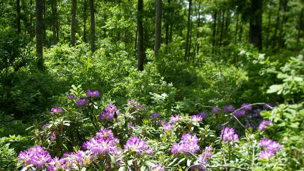 Странджанската зеленика разцъфтя месец по-рано