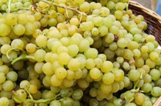 Лозари от Бургаско в шок, не знаят кой ще им изкупува гроздето