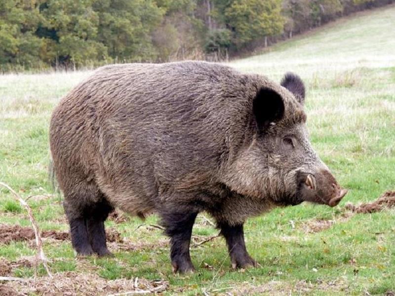 Ловци се чудят как да възстановят изчезващата дива свиня в Бургаско