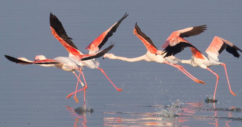 Ято от 180 розови фламинги са в Атанасовското езеро