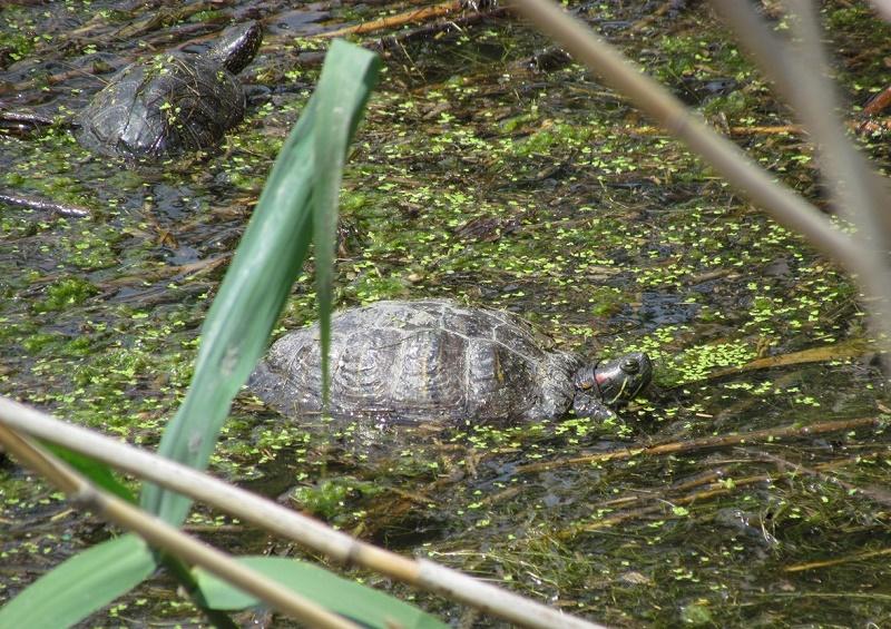 Агресивен вид костенурка засечен в Атанасовското езеро