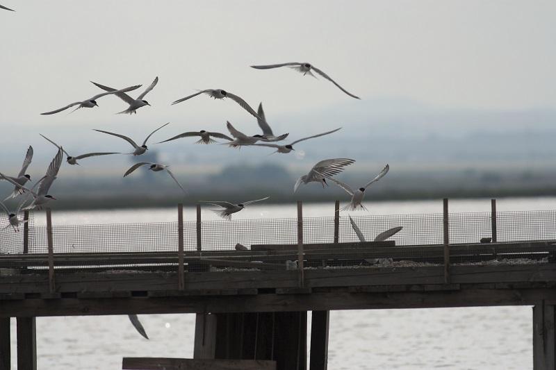 Саблеклюни и речни рибарки отглеждат потомството си в Атанасовското езеро