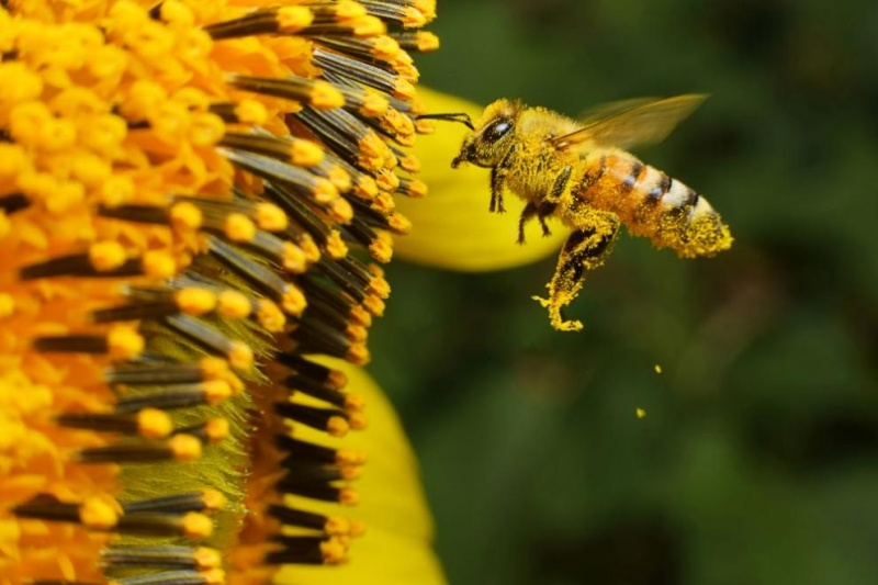 Пчели подушват коронавируса за секунди