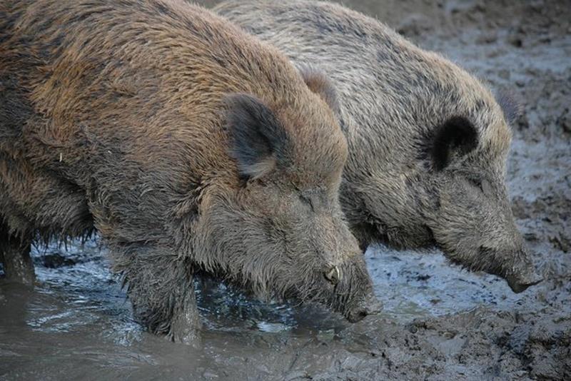 Отменя се забраната за лов в зоните с африканска чума по свинете
