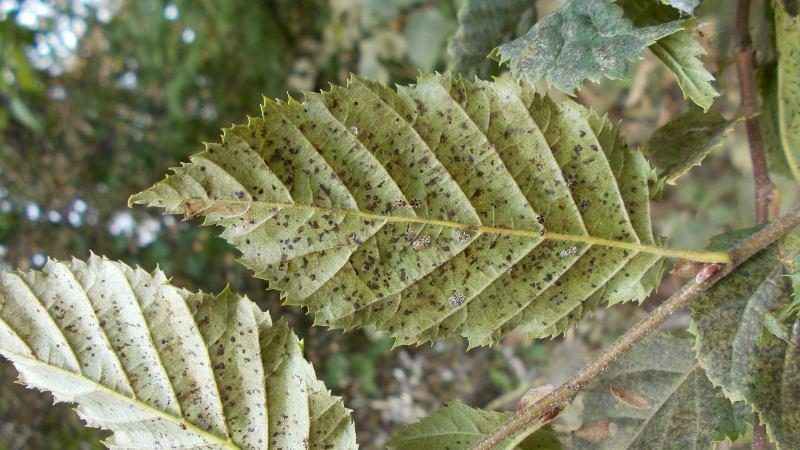 Агресивен вредител по дърветата в Странджа