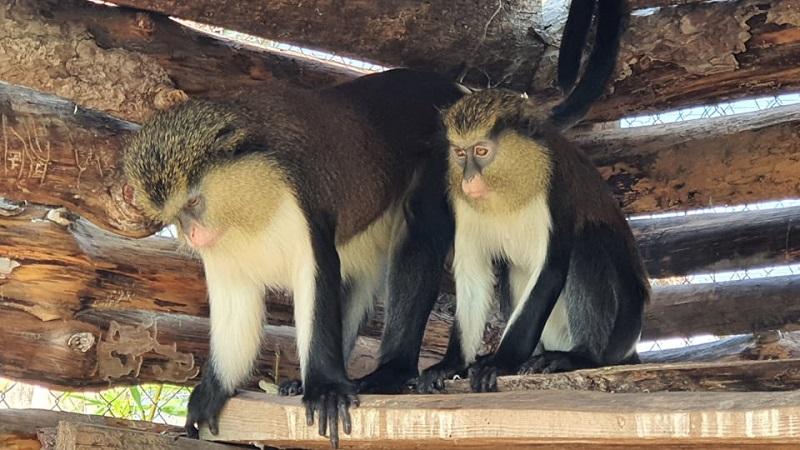 Маймуната Зелена морска котка пристигна в Зоопарк Бургас