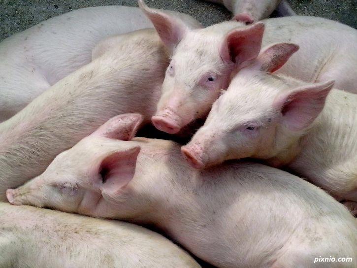 Важно за собствениците на домашни прасета