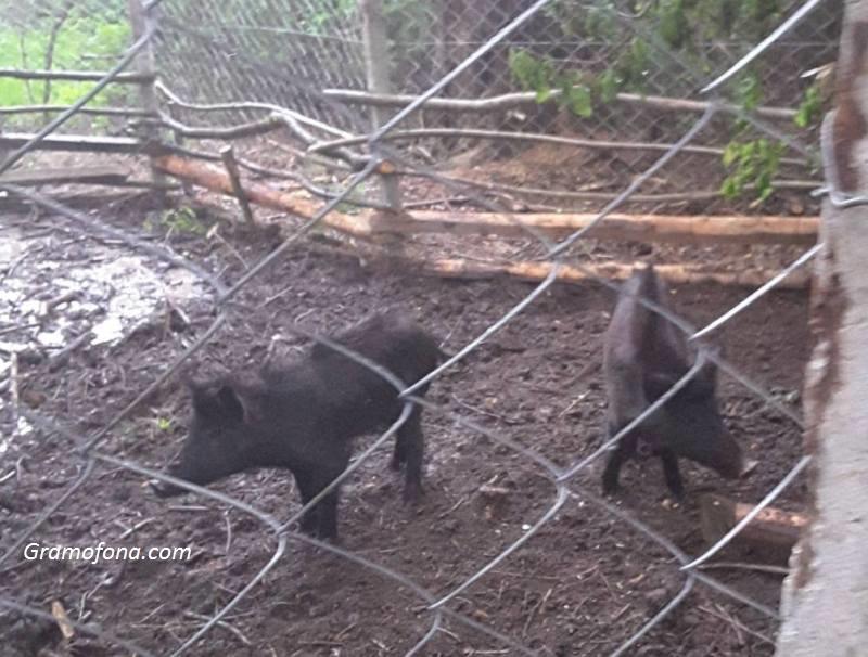 Търсят кой настървява ловни кучета по прасета в Карнобатско