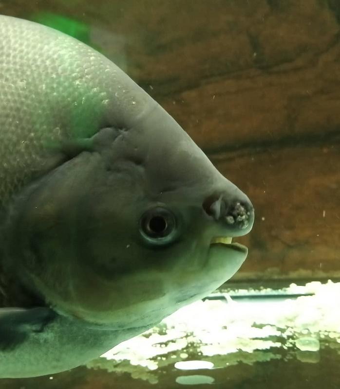 Вижте в Бургас една от най-странните риби на планетата, зъбите й са като човешките