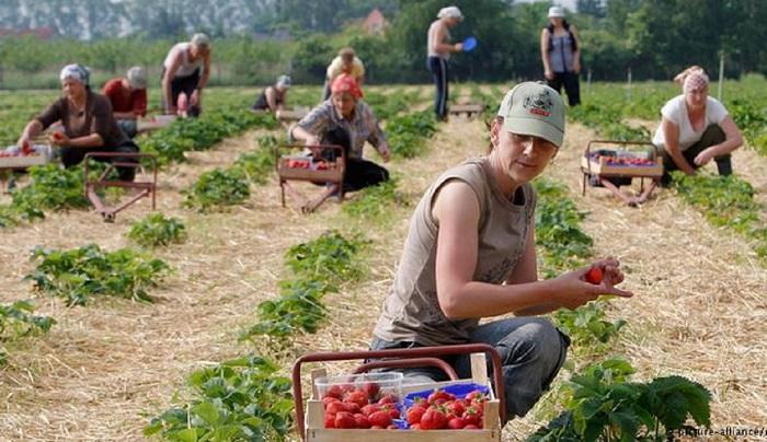 В Испания търсят берачки на ягоди