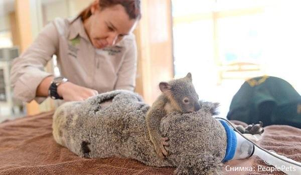 Бебе коала не спря да гушка майка си по време на операция