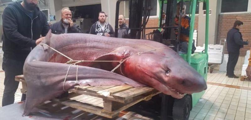 В Кавала уловиха 300 килограмова Гигантска акула