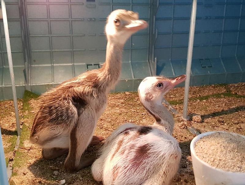 Излюпиха се четири бебета нанду в зоологическата градина на Бургас