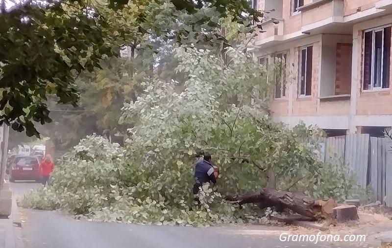 Строител ще засади 10 нови дръвчета заради две болни липи