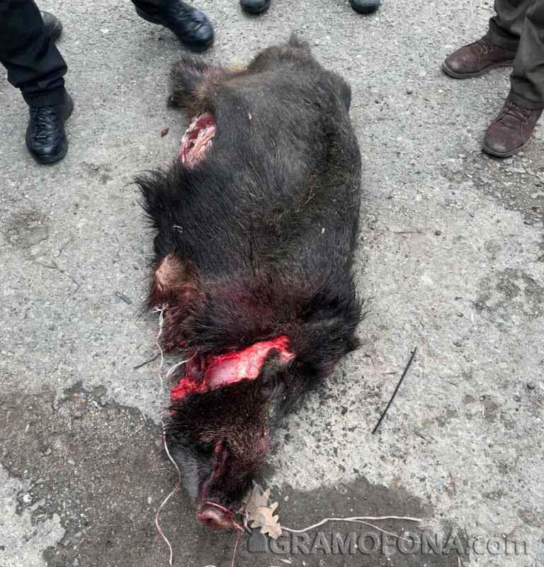Див екшън край Равадиново завърши с убита бременна свиня