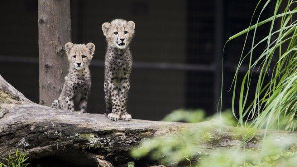 За първи път в света:Родиха се гепардчета, заченати инвитро