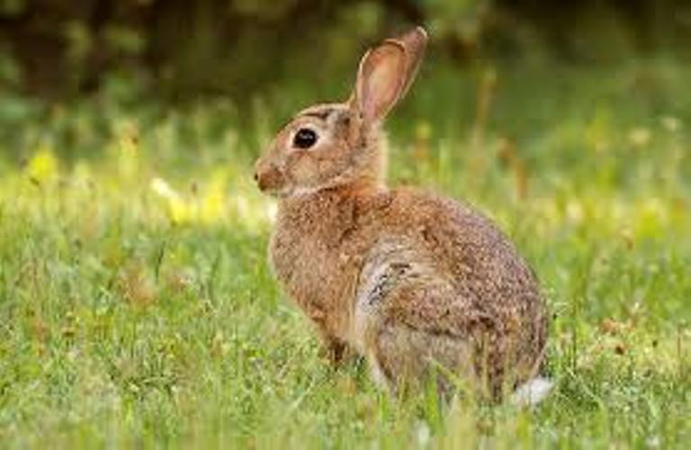 Дивите зайци в Бургаско измират