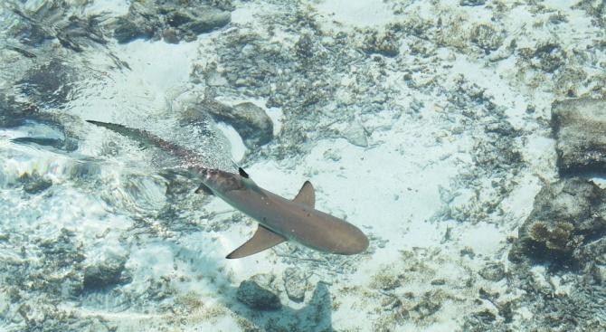 Учени откриха нов вид акули