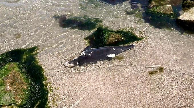 Морето изхвърли труп на делфин край Моста