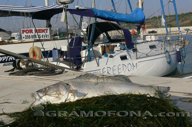 Мъртъв лаврак откриха на пристанището в Сарафово