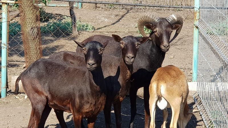 Вижте уникалните черни муфлони - най-новото попълнение в бургаския зоопарк
