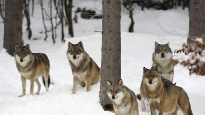 Отстреляха 17 вълка за 3 седмици в Бургаско