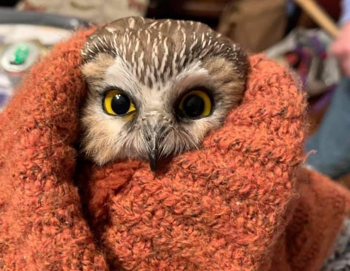 Спасиха малка сова, свила гнездо на новогодишната елха в Ню Йорк