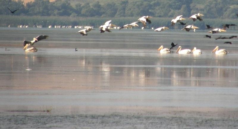 Пеликаните и щъркелите обичат да нощуват  на Атанасовското езеро