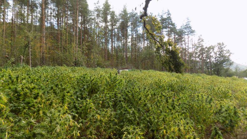 Нива с около 5400 растения марихуана е открита край Варна