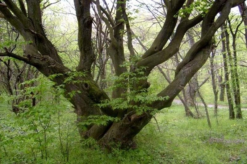 Сеч на вековни дървета в Китен