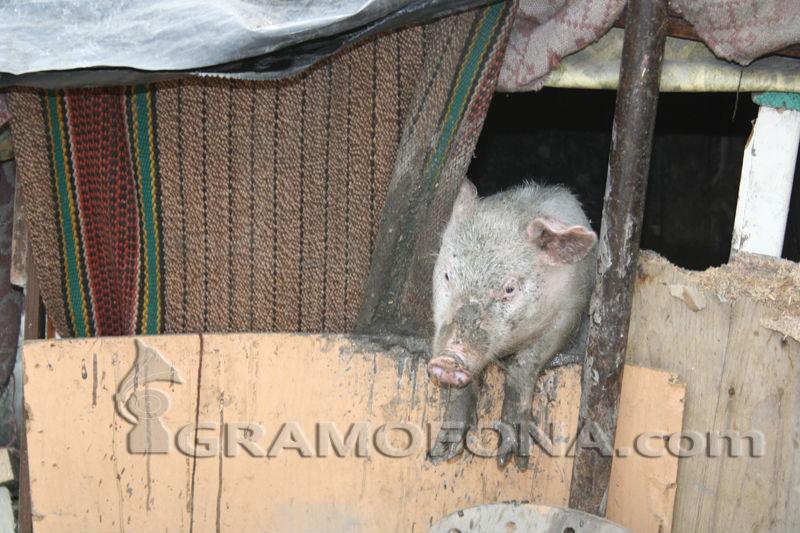 Първи случай на Африканска чума при свинете в Бургаско, заразата е в созополското село Зидарово