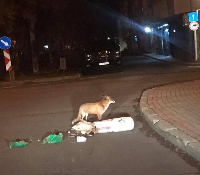 Лисица търси храна по улиците на Несебър