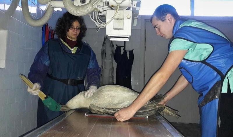 Простреляният розов пеликан край Бургас вече е здрав, пускат го да полети