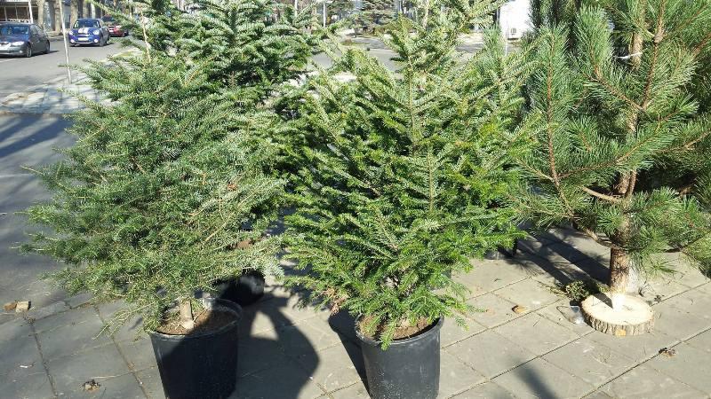 Посрещнете празниците с живи коледни дръвчета, а после ги засадете в природата