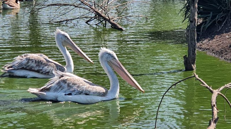 Зоопарк Бургас търси дарители за застрашени пеликани